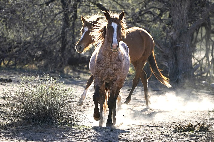 In this March 10, 2021, file photo, two Salt River wild horses kick up dust as they arrive at a site for emergency feeding run by the Salt River Wild Horse Management Group near Coon Bluff in the Tonto National Forest near Mesa, Ariz. Federal land managers say they're stepping up protections to guard against the illegal resale of wild horses and burros adopted from the government for slaughter after they've been captured on U.S. lands but mustang protection advocates say the Bureau of Land Management needs to do more. (AP Photo/Sue Ogrocki, File)