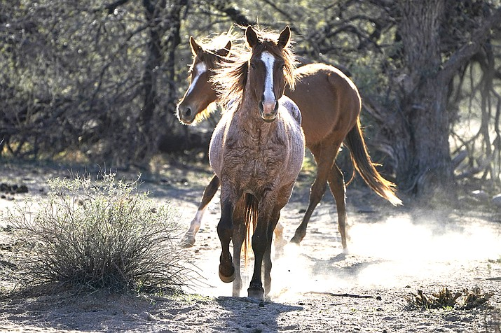 Two Salt River wild horses kick up dust as they arrive at a site for emergency feeding run by the Salt River Wild Horse Management Group near Coon Bluff in the Tonto National Forest near Mesa, Arizona. Federal land managers say they're stepping up protections to guard against the illegal resale of wild horses and burros adopted from the government for slaughter after they've been captured on U.S. lands but mustang protection advocates say the Bureau of Land Management needs to do more. (AP Photo/Sue Ogrocki, File)