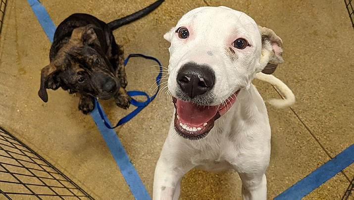 The Mohave County Animal Shelter received 500 animals in July alone, and is putting out a call for help to community members able to adopt dogs, cats, puppies and kittens. (Photo by Travis Rains/Kingman Miner)