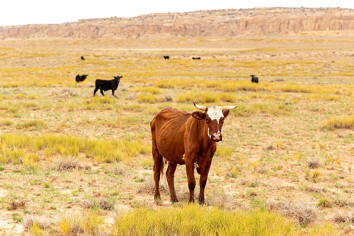 A small group of cattle graze east of the old Coalmine School off Highway 264, which runs through the Hopi Reservation. Because of concerns with the ongoing drought, the Hopi Tribe recently issued a drought declaration requiring ranchers to reduce the size of their herds. (Gilbert Honanie/NHO)