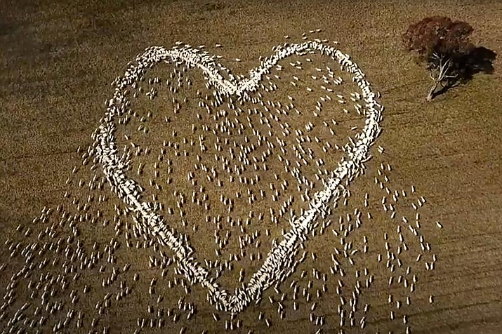 In this image taken from video, sheep form the shape of a heart in a field in Guyra, northern New South Wales, Australia. Ben Jackson, a sheep farmer stuck in lockdown, was unable to attend his aunt's funeral, has honored her memory with the ultimate tribute, sheep organized in the shape of a love heart. (Ben Jackson via AP)