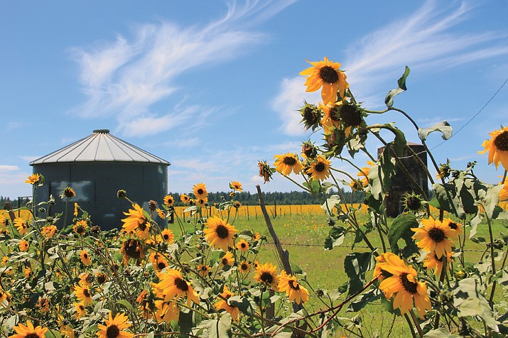 Fields of yellow sunflowers dot the landscape in areas north and south of Interstate 40 near Williams. Precipitation in the Williams area is over 200 percent higher than normal. (Wendy Howell/WGCN)