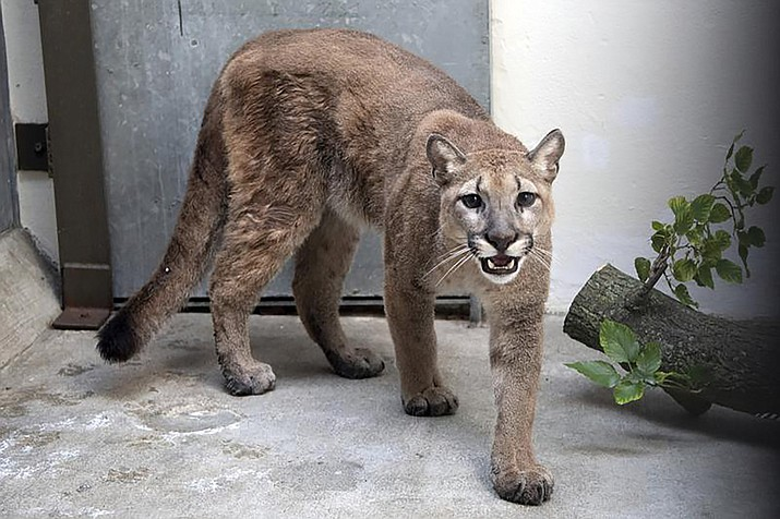 This photo provided by New York's Bronx Zoo shows an 11-month-old, 80-pound cougar that was removed from an apartment, in the Bronx borough of New York, where she was being kept illegally as a pet, animal welfare officials said Monday, Aug. 30, 2021. The cougar, nicknamed Sasha, spent the weekend at the Bronx Zoo receiving veterinary care and is now headed to the Turpentine Creek Wildlife Refuge in Arkansas, officials said. (Courtesy of The Bronx Zoo via AP)
