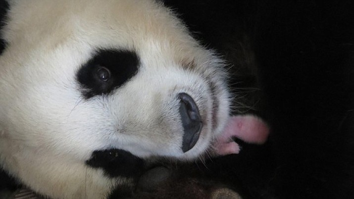 The Madrid Zoo released this photo of giant panda Hua Zui Ba with one of its newborn cubs. (Zoo Aquarium de Madrid)