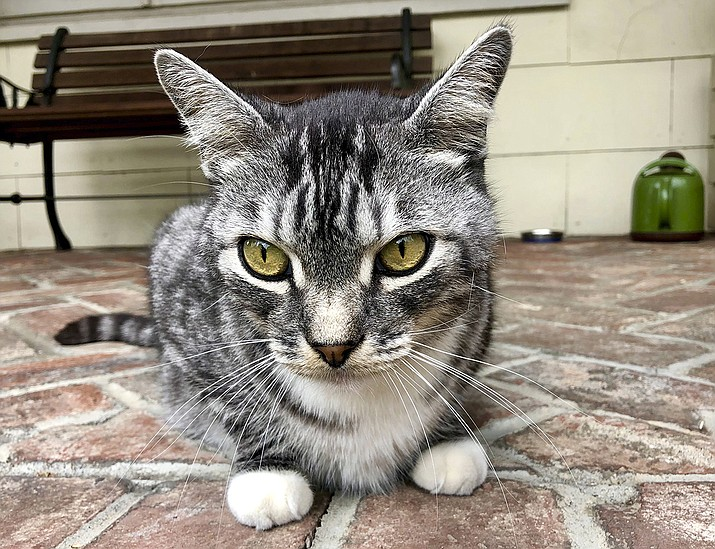 """This photo provided by writer Solvej Schou shows Schou's neighbors' cat, """"Kevin,"""" as he sits on Schou and her husband's porch on Aug. 21, 2021 in Pasadena, Calif.  (Solvej Schou via AP)"""