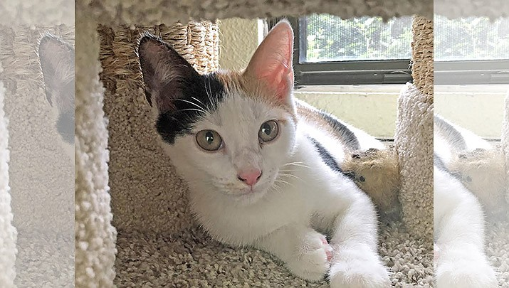 Maggie is a calico and is a little timid with strangers, but warms up quickly! (Courtesy)