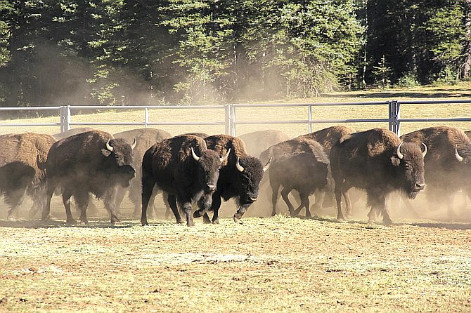 Bison enter a corral on the North Rim of Grand Canyon National Park, Arizona. Thirty-six bison were transferred to Native American tribes in Oklahoma and Nebraska Sept. 8. (Bryan Maul/National Park Service via AP)