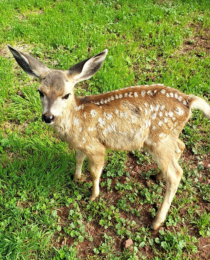 Grand Canyon Deer Farm reminds public to leave baby wildlife alone. (Photo/Grand Canyon Deer Farm)