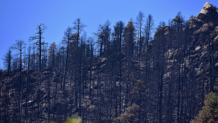 Scorched timber from the Flag Fire is pictured in the Hualapai Mountains in this file photo. Mohave County subsequently declared a state of emergency that may be lifted this week. (Photo by Tim Hammond)