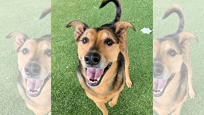Cady is about 6 years old, and is a spayed female Shepherd mix. (Courtesy)