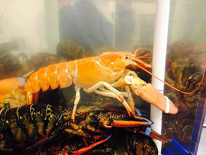 A rare orange lobster has been donated to an Arizona aquarium. (Jiaqian AirplaneFan via Daily Miner)