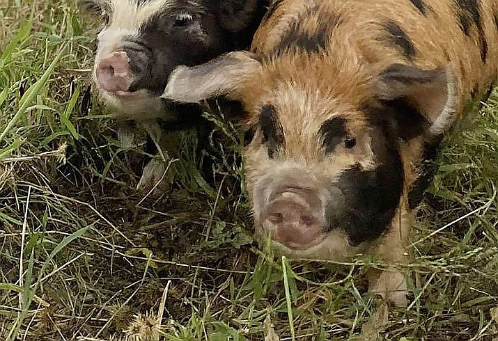 """""""Mary Anne"""" and """"Ginger,"""" the two wayward pigs that went missing Sept. 7, 2021, in the Rosser/Cliff Rose area, are home safe now. (Courtesy photo)"""