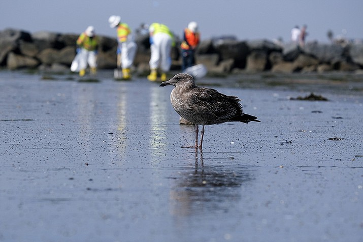 A seagull rests as workers in protective suits clean the contaminated beach after an oil spill, Wednesday, Oct. 6, 2021 in Newport Beach, Calif. After a crude oil sheen was detected on the waters off the California coast, environmentalists feared the worst. Now, almost a week later, some say weather conditions and quick-moving actions have spared sensitive wetlands and scenic beaches in Orange County's Huntington Beach a potentially calamitous fate, though the long term toll of the spill remains unknown. (AP Photo/Ringo H.W. Chiu, File)