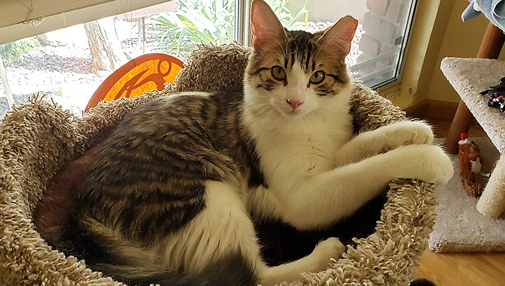 Benny is a 2-year-old white, black and gray tabby, and is in need of a forever home. (Courtesy)