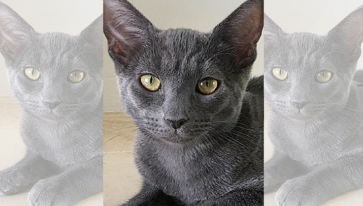 Moby seeks attention/affection and purrs constantly. He needs a forever home. (Courtesy)